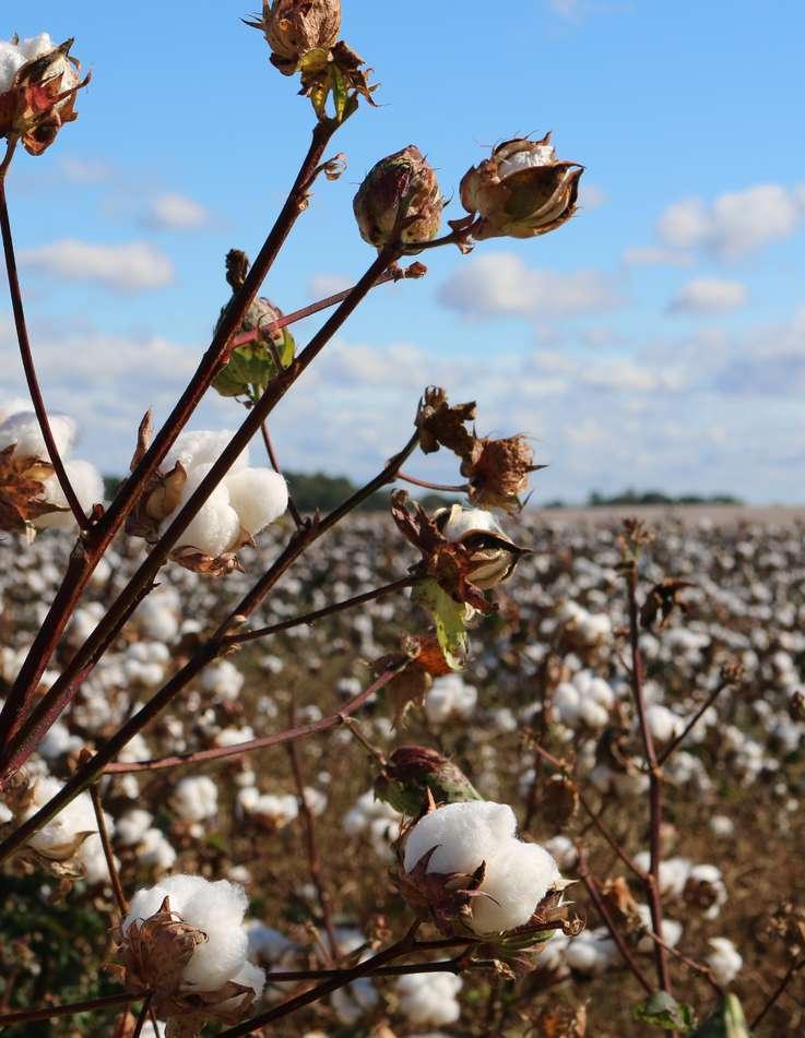 Fornecedores de algodão orgânico